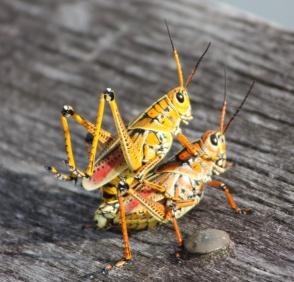 Florida Everglades Heuschrecken