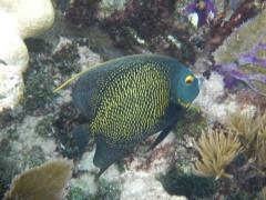 Florida John Pennekamp Coral Reef Kaiserfisch