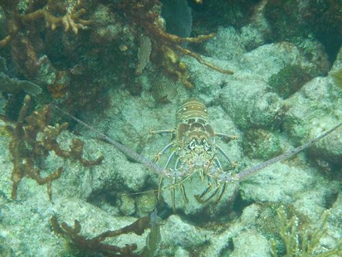 Florida Keys John Pennekamp Coral Reef Hummer