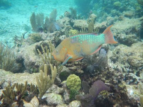 Florida Keys John Pennekamp Coral Reef Papageienfisch