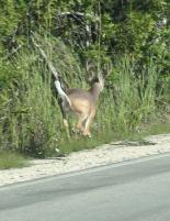 Florida Keys Key Deer Weißwedelhirsch