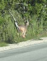 Florida Keys Key Deer Weißwedelhirsch