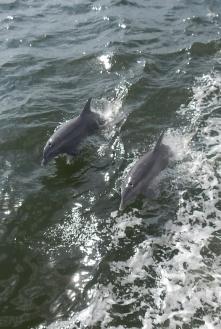 Florida Captiva 2 Delfine