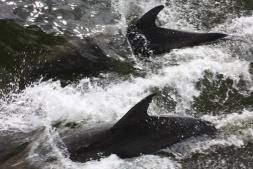Florida Captiva Delfine
