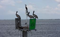 Florida Captiva Pelikane