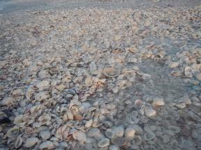Florida Sanibel Island Muscheln