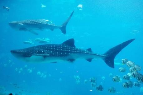 Georgia Atlanta Aquarium Walhaie