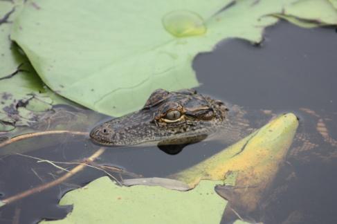 Georgia Okefenokee Alligator Baby