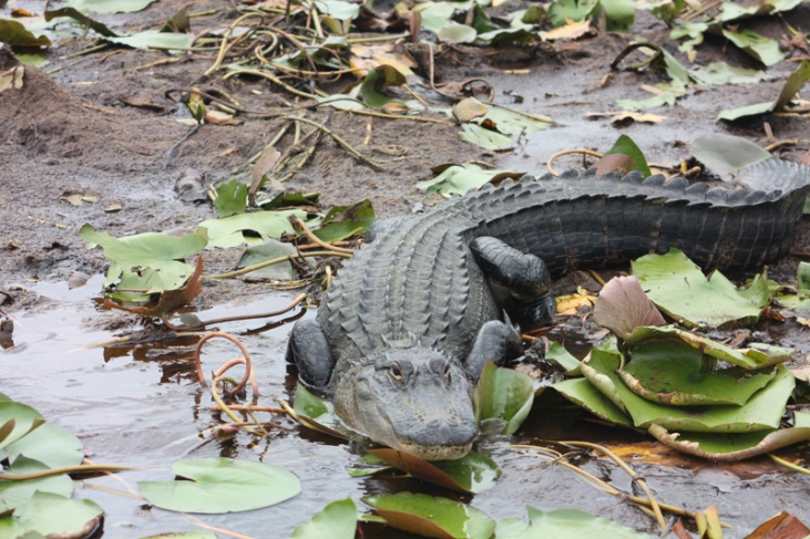 Georgia Okefenokee Alligator groß
