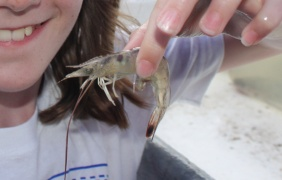 Georgia Shrimptour Shrimp