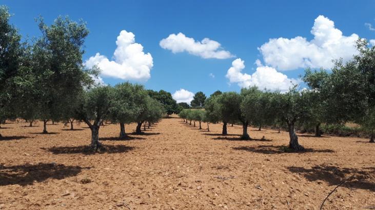 Portugal Tras-os-Montes Olivenhain