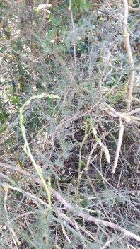 Grüner Spargel Albarella