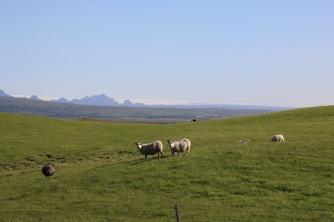Island Schafe im Hintergrund Gletscher