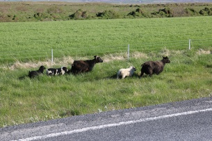 Island Schafe Straße