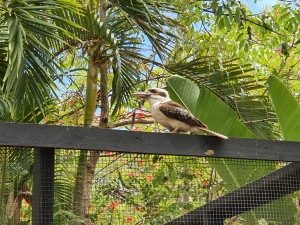 Magnetic Island Kookaburra