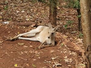 Känguru Cooberie Park Yeppoon