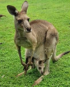 Känguru mit Joey Cooberie Park Yeppoon
