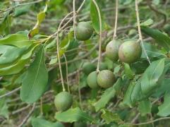 Bundaberg Macadamias