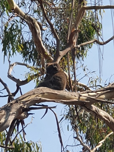 Tower Hill Reserve Koala
