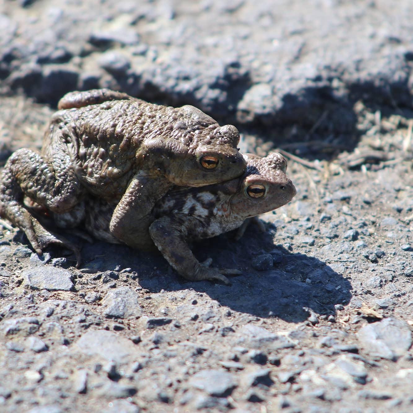 Bingenheimer Ried Erdkröten Paarung