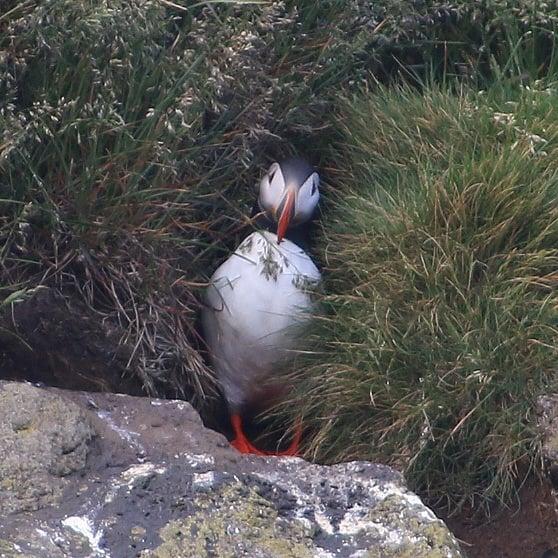 Island Papageitaucher am Dyrolahey