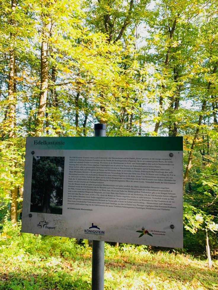 Edelkastanie Maronen Königstein Mammolshain Infotafel